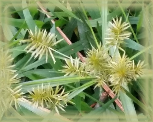 Sedge Flower Remedy