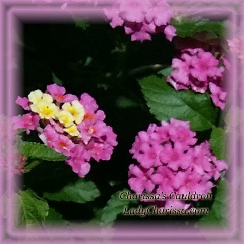 Lantana Flower Remedy