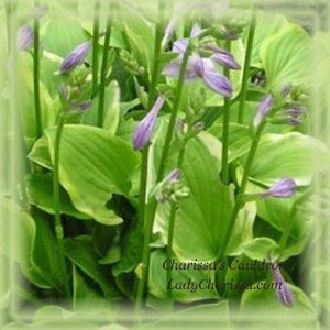 Hosta Golden Tiara Flower Remedy