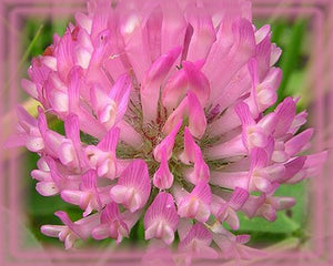 Red Clover Flower Remedy