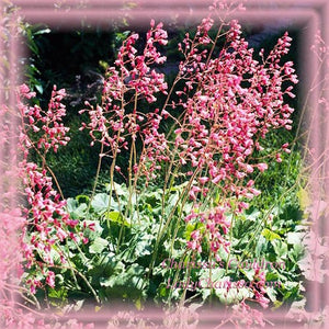 Coral Bells Flower Remedy