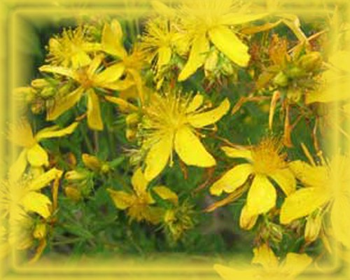 St. John's Wort Flower Remedy