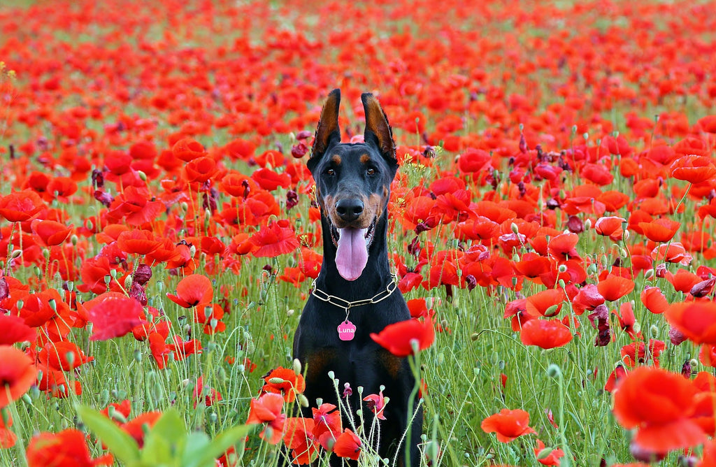 Doberman Pinscher in field of poppies