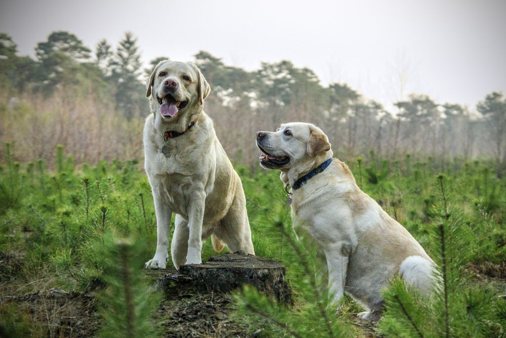 two labrador retrievers in field