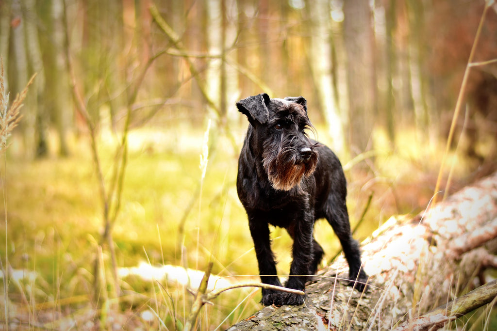miniature schnauzer on log in woods