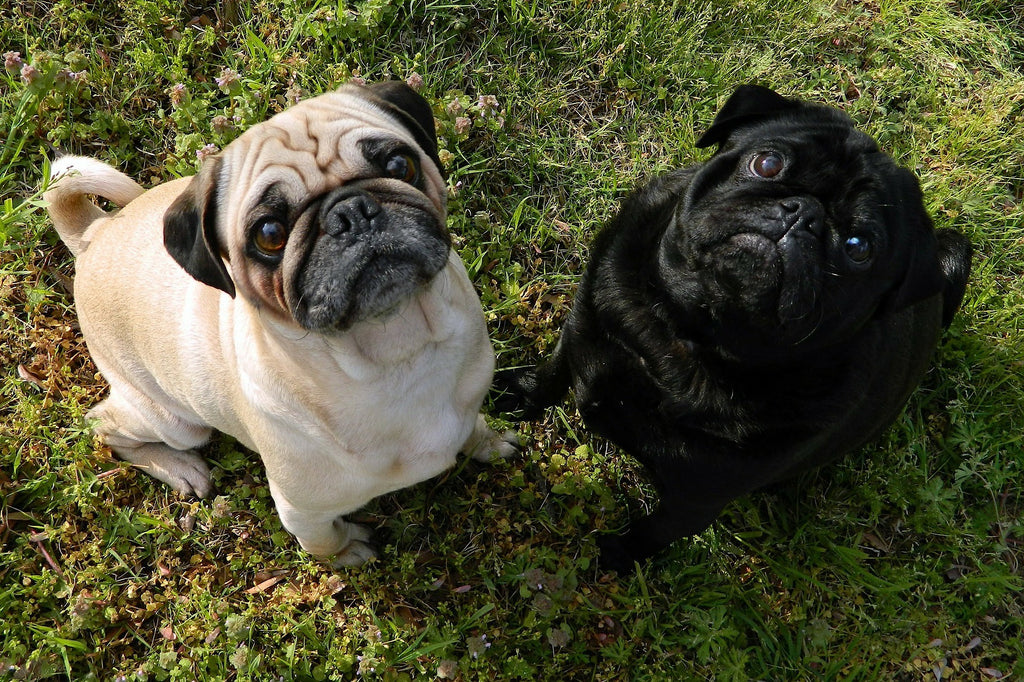 two pugs sitting obediently