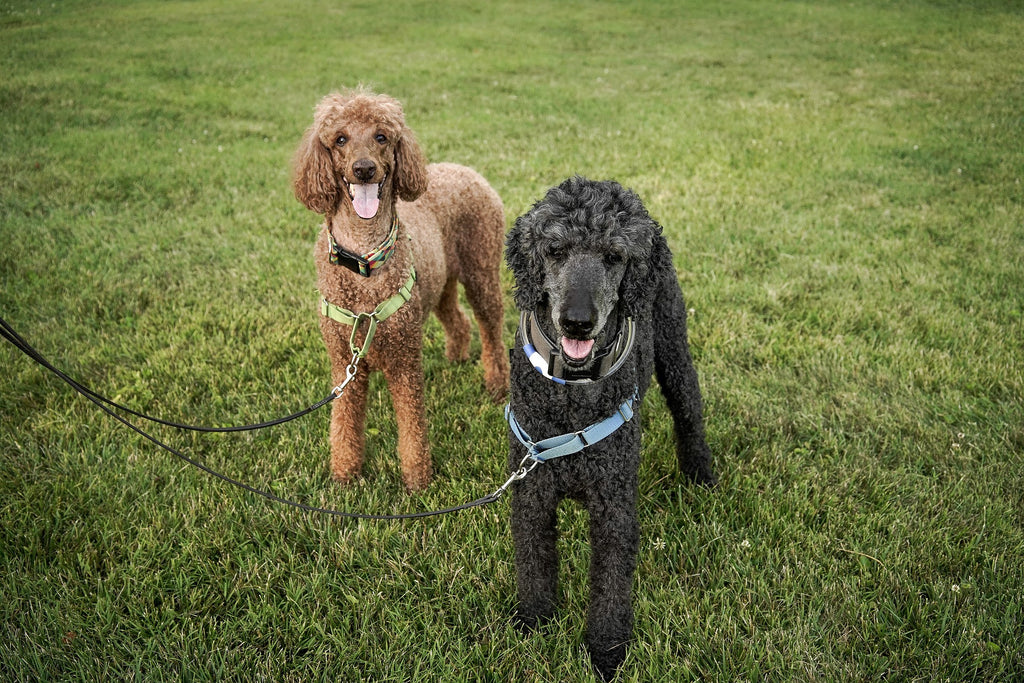 Black and Brown Standard Poodles