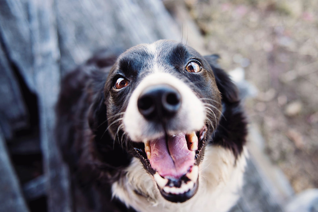 smiling border collie looking up at camera
