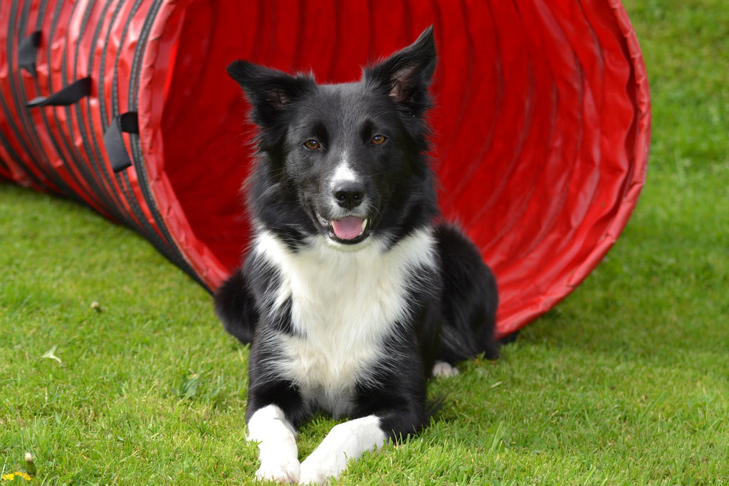 Border Collie sitting politely next to training tunnel