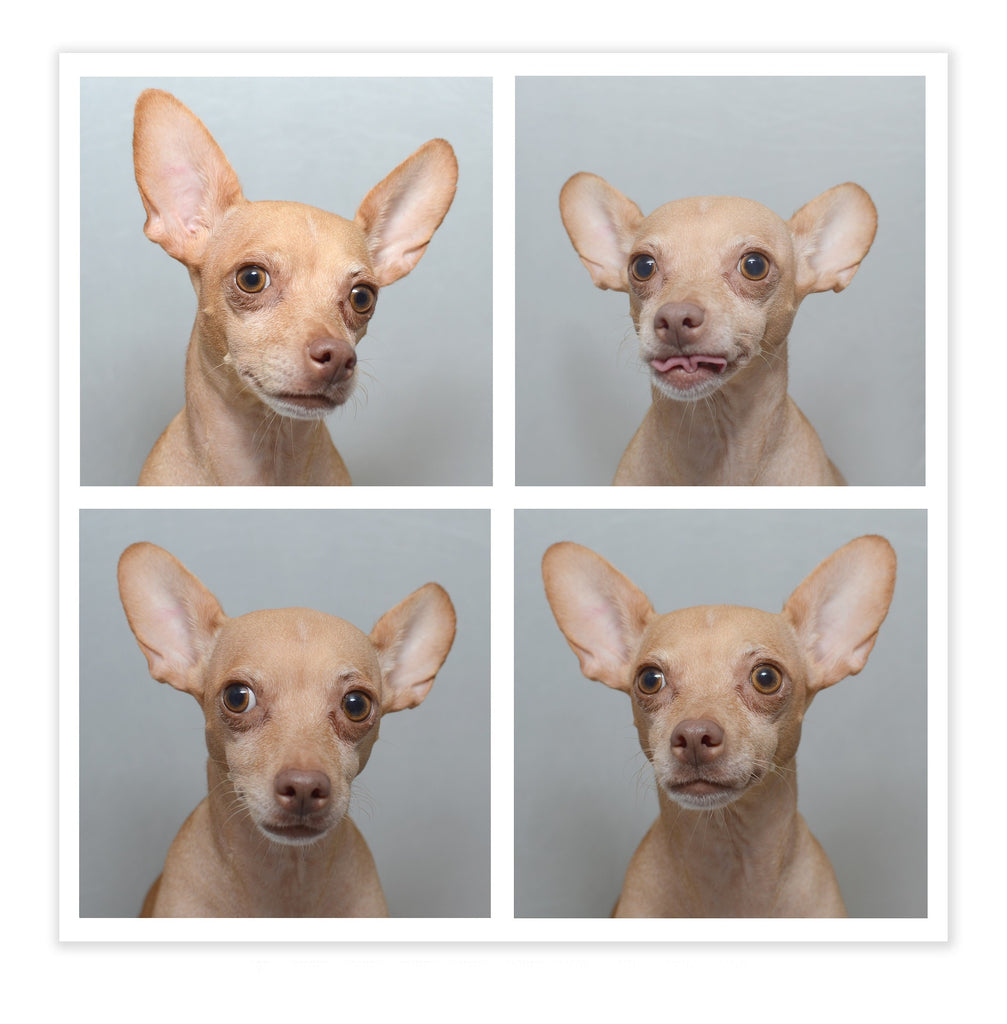 photo set of four chihuahua images
