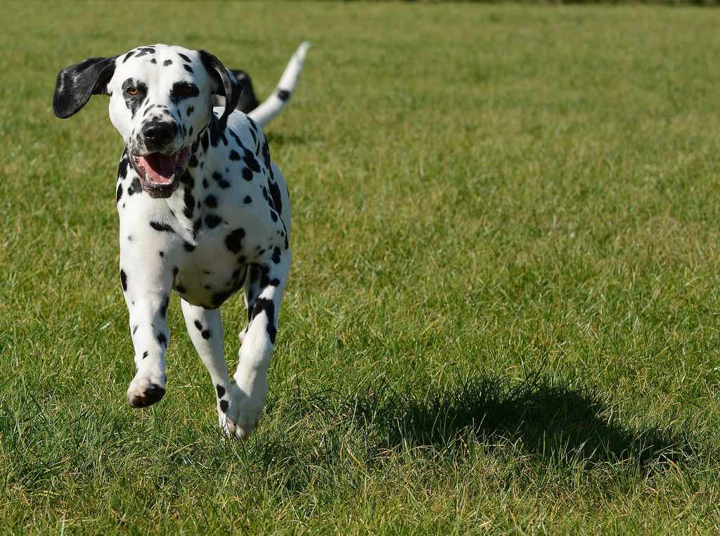 active dalmatian running through field