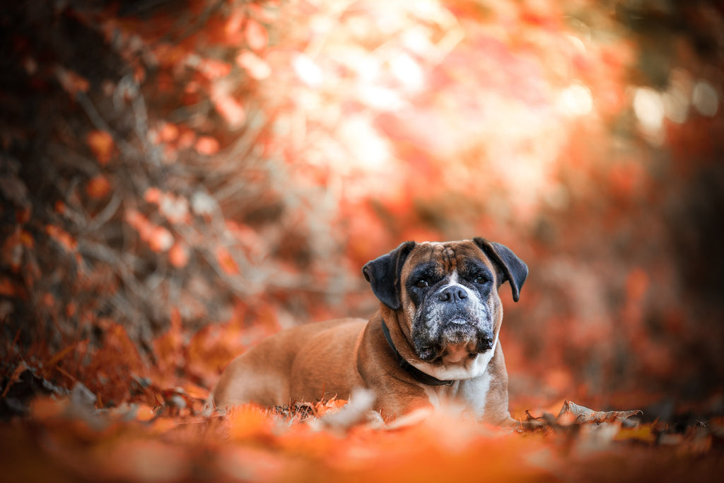 dog with background of red autumn leaves
