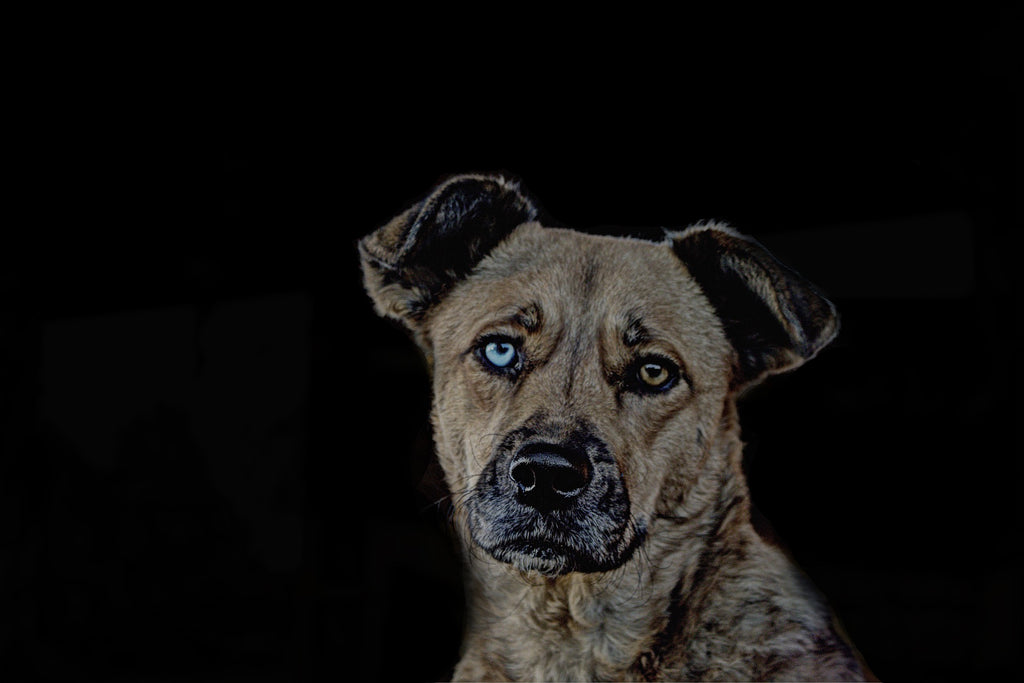 dog with mismatched eyes on black background