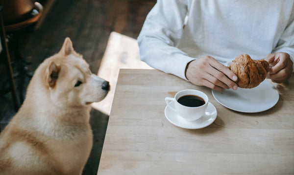 Dog looking at his owner's food