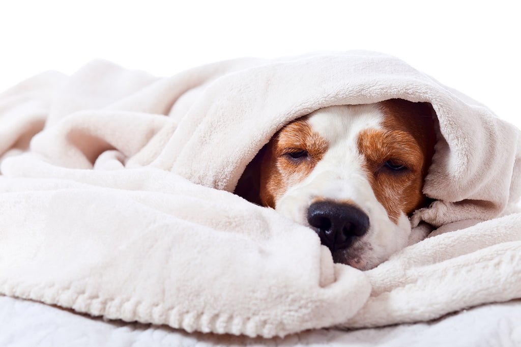 Sick dog wrapped in blanket