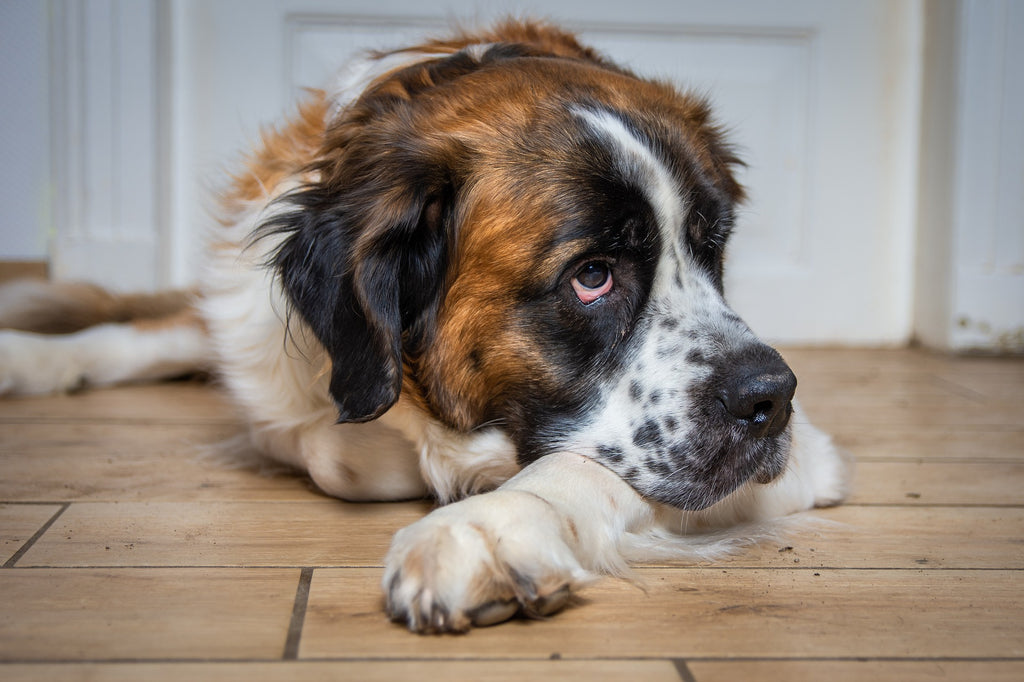 sleepy saint bernard