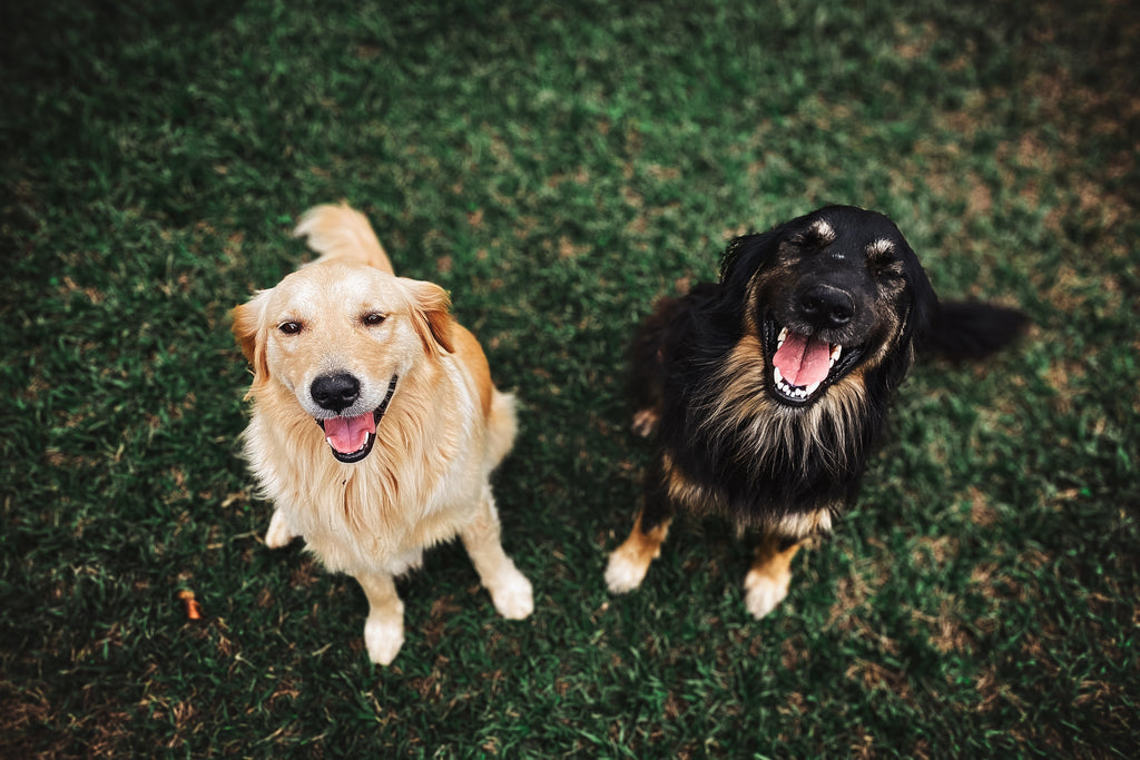 Two happy dogs sitting next to each other