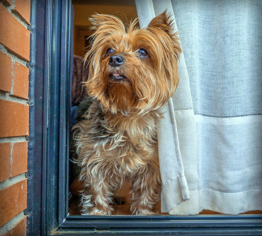 yorkshire terrier peeking through curtain