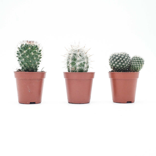 Mixed selection Mini Cacti