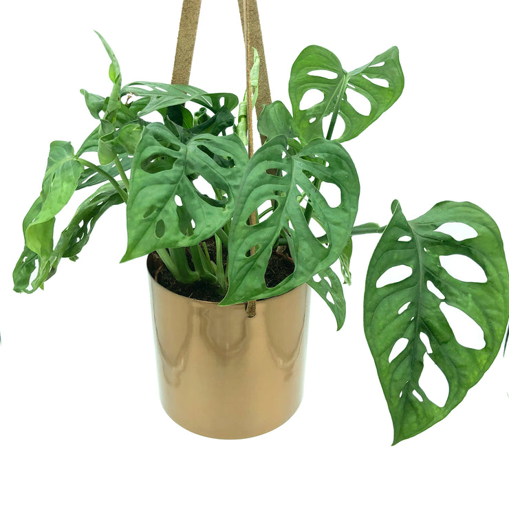 Monstera Adansonii - Philodendron Monkey Mask