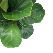 Ficus Lyrata Bambino 'Fiddle Leaf Fig'