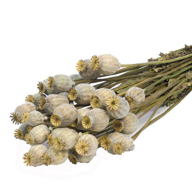 Dried Natural Papaver Poppy Heads - From Victoria Shop