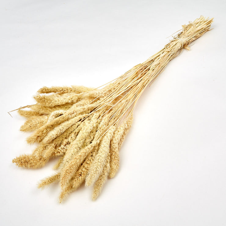 Dried Ecru Setaria Pendula Grass