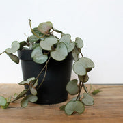 delicate and pretty chain of hearts house plant