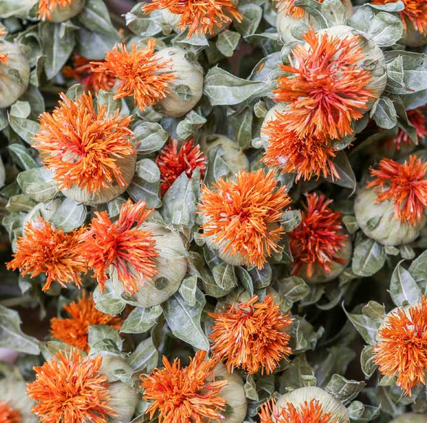 Carthamus Orange Dried Flowers - From Victoria Shop