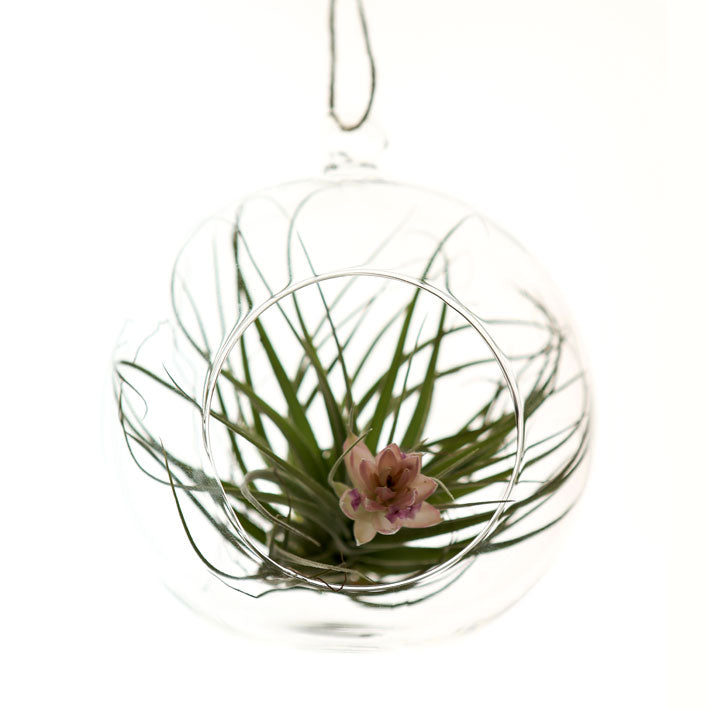 glass hanging terranium - medium
