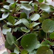tray of small pilea peperomioides