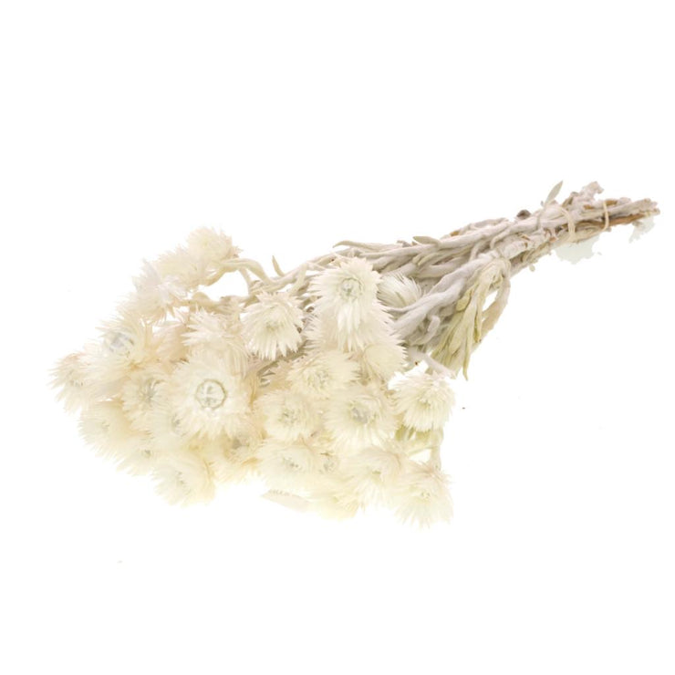 Dried white Helichrysum Vestitum - From Victoria Shop