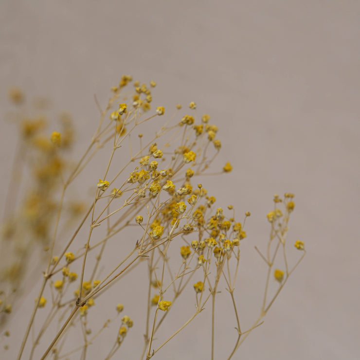 Preserved Natural Yellow Gypsophila