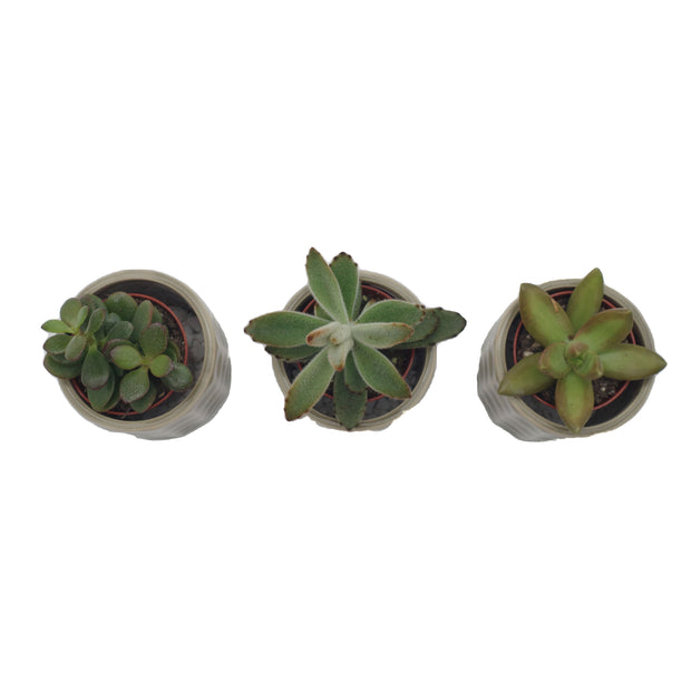 Mixed selection Mini Succulents