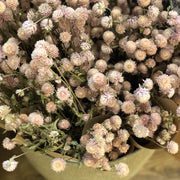 Dried Pink Gomphrena - From Victoria Shop