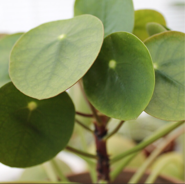 Pilea Peperomioides 'Chinese money plant'