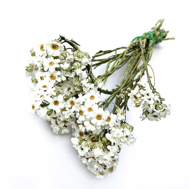 Ixodia Natural White Dried Flowers
