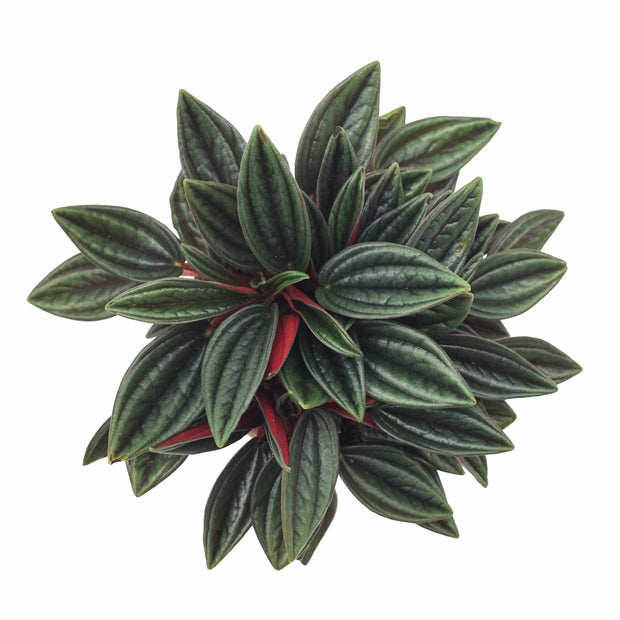 Peperomia Rosso Plant