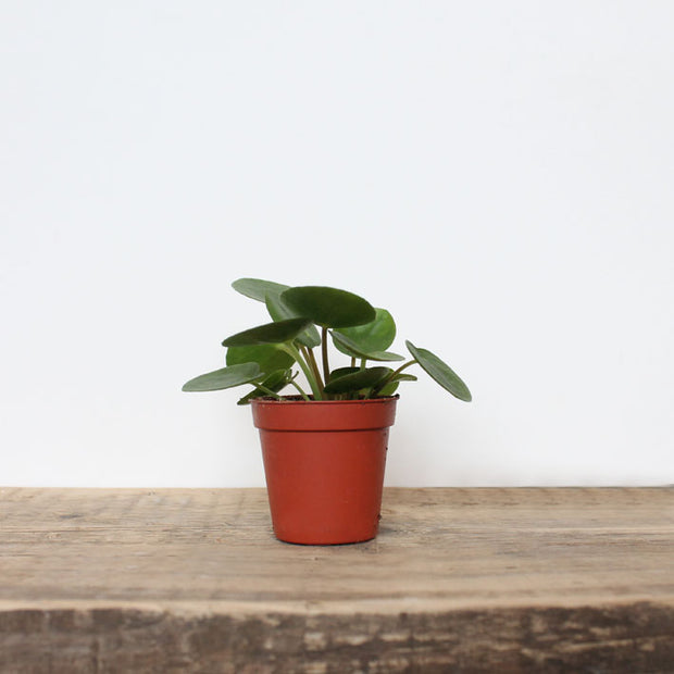 small pilea peperomioides, the friendship or pass it on plant