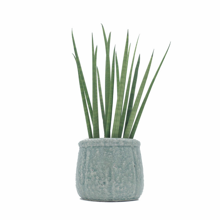 Sansevieria Cylindrica 'African Spear Plant'
