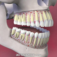 3D Skull Teeth Cutaway Model