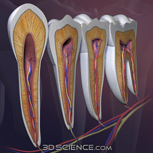 3D Teeth Cross-Section Model