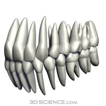3D Teeth and Gums Model