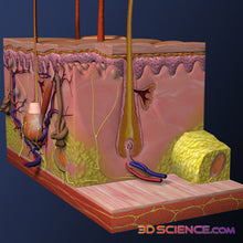 3D Skin Cross-Section Model
