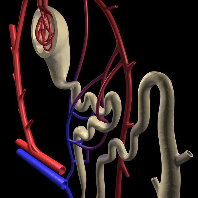 3D Kidney Nephron Model