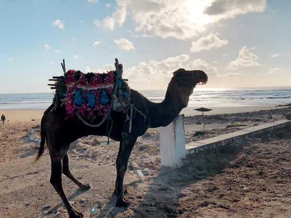 Camel on the beach in Sidi Khaouki