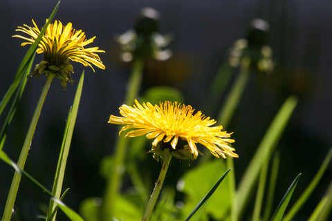 2 dandelions in the grass
