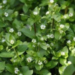 the edible plant chickweed