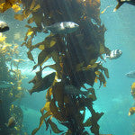 the edible sea plant kelp