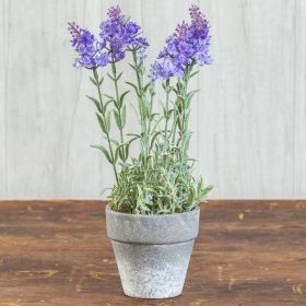 12 in Potted Lavender